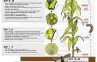 توصيات فنية لمواجهة الدودة القاتلة للمحاصيل الزراعية (تفاصيل)