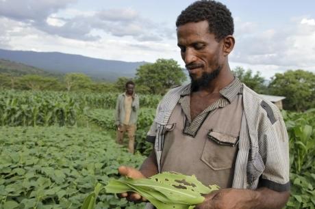 الفاو ترصد 5 مخاطر حول دودة الحشد الخريفي علي الإنتاج الزراعي