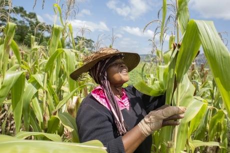 أخطر دودة تهدد غذاء العالم... إجتاحت 40 دولة وتفضل الذرة والقصب (التفاصيل)