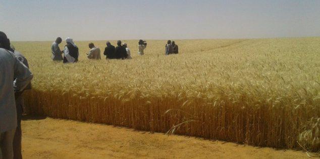 رغم موجة إحتجاج في السودان: زراعة 420 ألف فدان في مشروع الجزيرة
