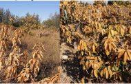 الزراعة : 5 توصيات لمزارعي المانجو يجب الالتزام بها لمواجهة الصقيع