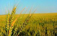 رئيس قطاع الخدمات الزراعية: الظروف الجوية الحالية تناسب زراعة القمح وترفع الإنتاجية