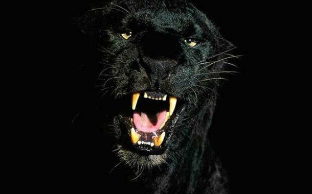 بالصور...النمر الأسود يعود بعد 100 عام من الإختفاء