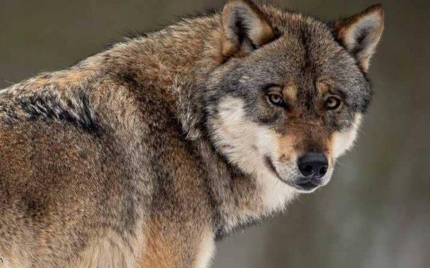 مفأجاة صادمة... عندما تنقذ كلبا من الموت فتكتشف إنه ذئب