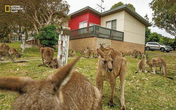 إستراليا...بلد الـ 50 مليون كنغر...أجمل حيوان يتسبب في 20 ألف حادثة سنويا