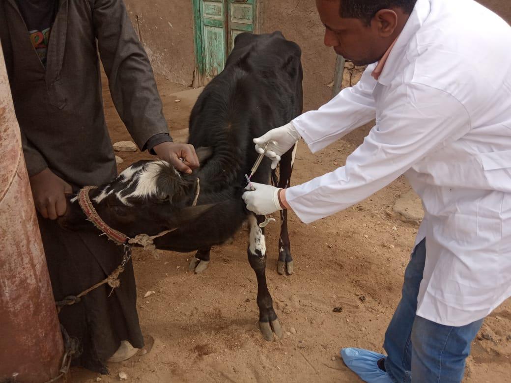 تحصين 726 الف رأس ماشية من الحمى القلاعية خلال الأسبوع الأول للحملة .. بالصور