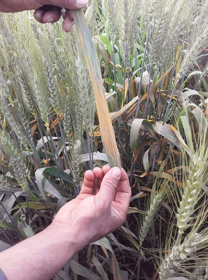 خبير زراعي: نصائح للمزارعين لحماية القمح من مخاطر الرياح والتربة