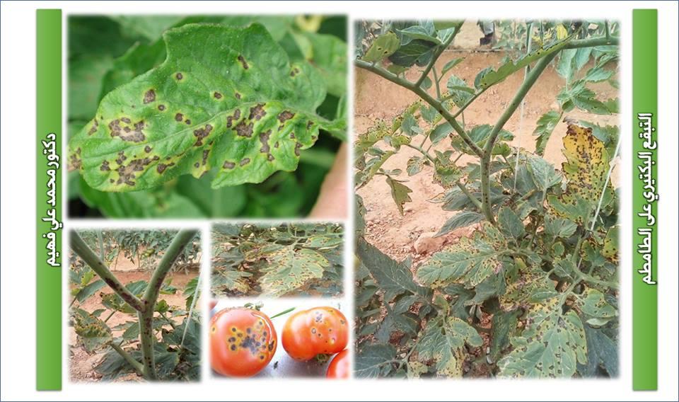 خبير : نصائح لمزراعي الطماطم فى الحقل المكشوف والصوب لمكافحة الأمراض