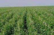 نقيب الفلاحين: لهذه الأسباب سوف ترتفع مساحات زراعة السمسم