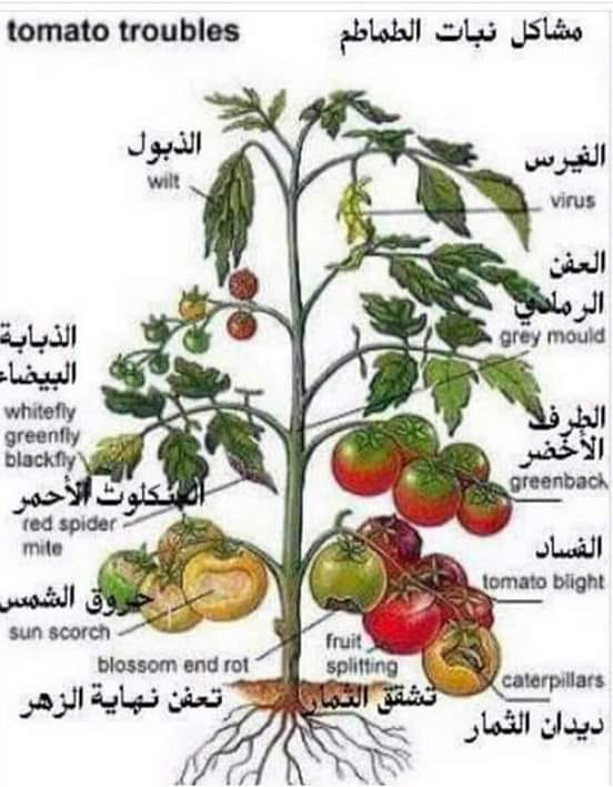الزراعة تعلن التوصيات الفنية لشهر مارس لحماية الطماطم من الأمراض
