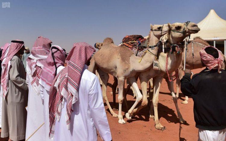 اعلان نتائج منافسات مزاين الهجن الأصايل في مهرجان الملك عبدالعزيز للإبل