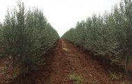 سوريا: إرتفاع الإنتاج من الزيت والزيتون لـ 82 مليون شجرة واللاذقية الاولي