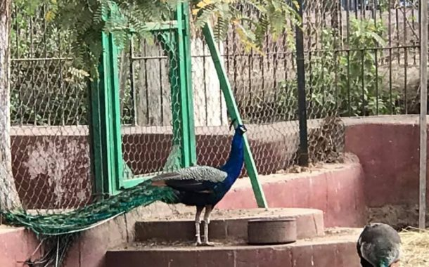 الطاووس ...سلطان حديقة الحيوان بالجيزة (12 معلومة)