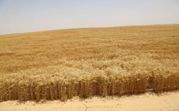 المغرب: إنتاج القمح يقترب من 5 ملايين طن...ودعم المطاحن لشراء المحصول