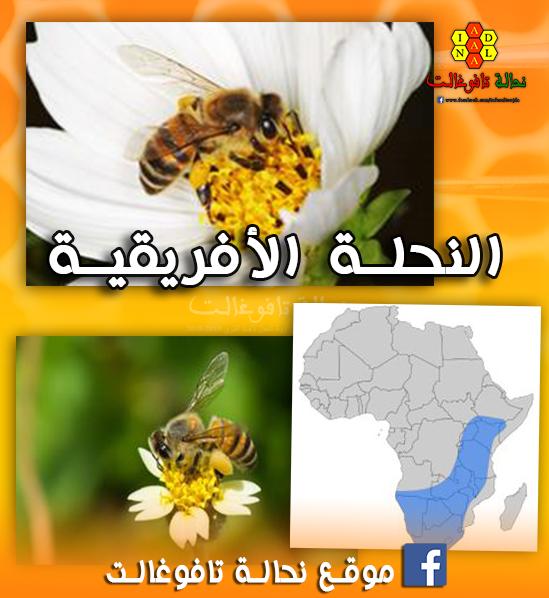 د علي البراقي يكتب: النحلة الأفريقية...تجربة شخصية مع النحلة المظلومة