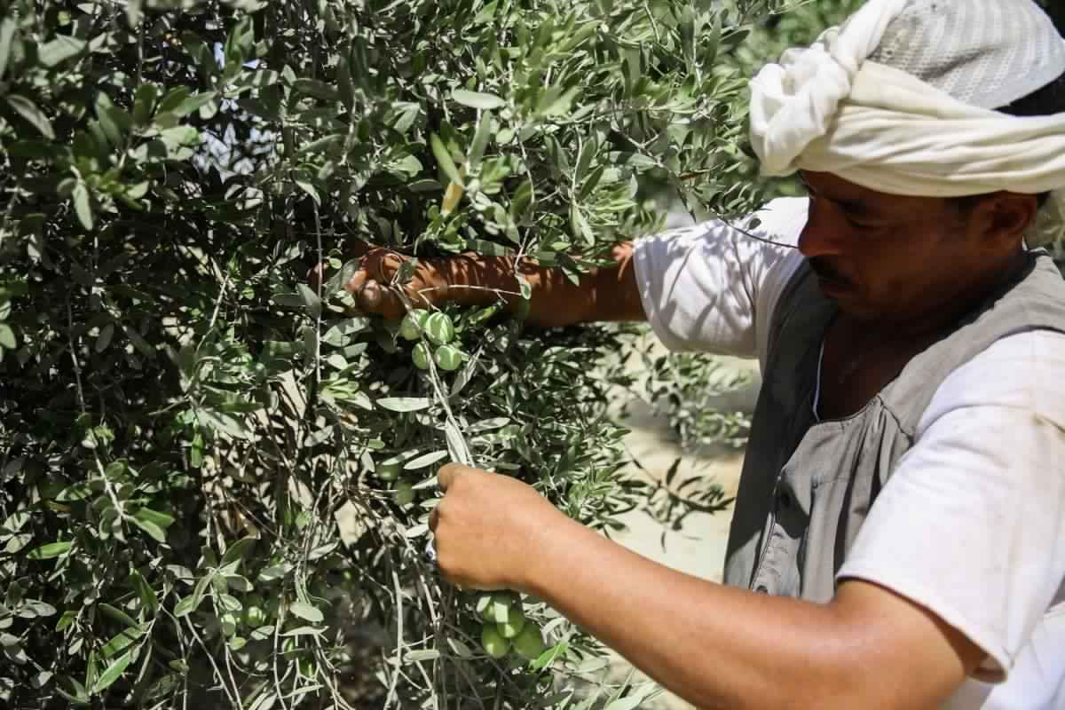 خبير: الزيتون والمناخ...قصة المواجهة تعتمد على رعاية الأصناف وموقع الزراعة