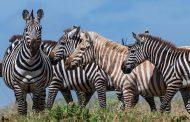 إكتشاف أول حمار وحشي أشقر بالعالم في تنزانيا (صور)