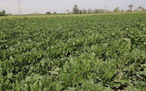 رئيس مركز البحوث الزراعية الأسبق يرصد مشاكل زراعة بنجر السكر في 10 معلومات