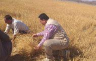بالصور...بدء حصاد القمح في الشلاتين بالبحر الأحمر... وزراعة الأصناف العربية من النخيل