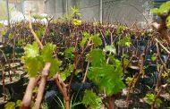 الزراعة توافق علي تصدير 163 ألفا و800 شتلة تين وزيتون وموالح ومانجو وعنب (تفاصيل)