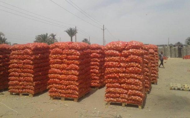 مصر تنضم لقائمة الاشهر عالميا في انتاج وتصدير البصل
