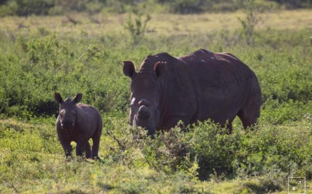 تسميم وحيد القرن...وسيلة لإنقاذه من الصيد الجائر (تفاصيل)