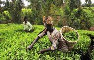 لمحة عن الزراعة في جنوب أفريقيا... موالح ورد وقطن وذرة وتصنيع زراعي