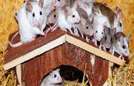 بدء حرب الفئران...و