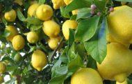 نقيب الفلاحين: جنون أسعار الليمون ستحول خطط المزارعين لازدهاره المواسم المقبلة