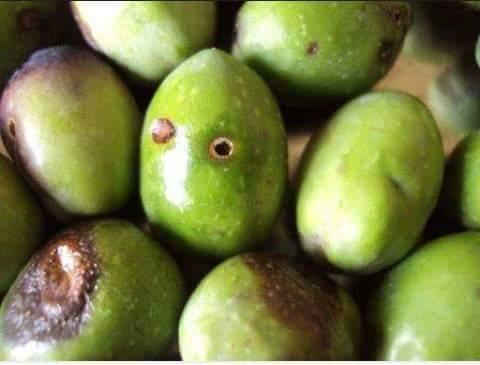د محمد أبورداحه يكتب: ذبابة ثمرة الزيتون وإنتاج الزيوت