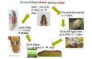 تعرف علي دورة حياة دودة الحشد الخريفية (8 معلومات)