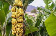 لمزارعي الموز.. تعرف علي التوصيات الفنية لشهر يونيو الصادرة من البساتين