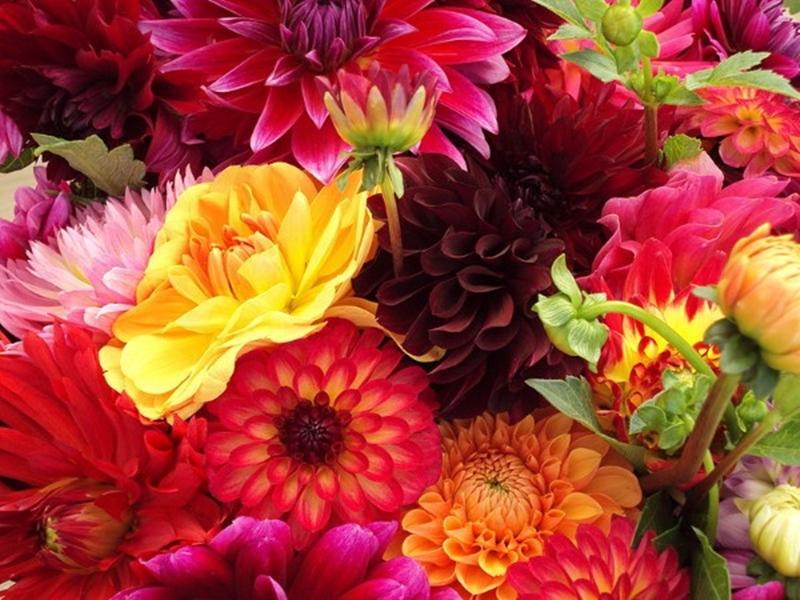 نعرض أشهر الزهور في الحدائق المنزلية...شقائق النعمان وعصفور الجنة