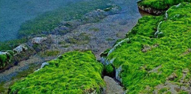 الطحالب...فوائد غذائية لصحة الأنسان ووقاية من أخطر الامراض (تفاصيل)
