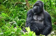 «غوريلا رامز في الشلال»... طيب القلب وبسيط وحيوان يهدده خطر الانقراض