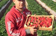 عماد مهدي يكتب: التقلبات المناخية وإنتاجية أكبر من الفراولة بمبيدات أقل (صور)