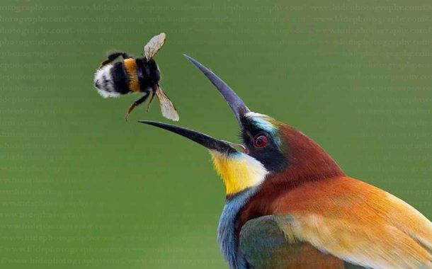 طائر الوروار يهاجم النحل في 5 محافظات...وصائد النحل يقتل 225 يوميا (صور)
