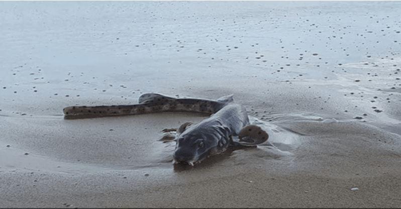 أغرب الحيوانات... العثور على كائن بحري غريب على شاطئ أسترالي