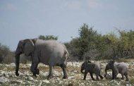 ناميبيا تعرض 60 زرافة و28 فيل للبيع بسبب الجفاف