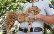 إكتشاف نوع جديد من الحيوانات في إيطاليا: القط الثعلب (تفاصيل)