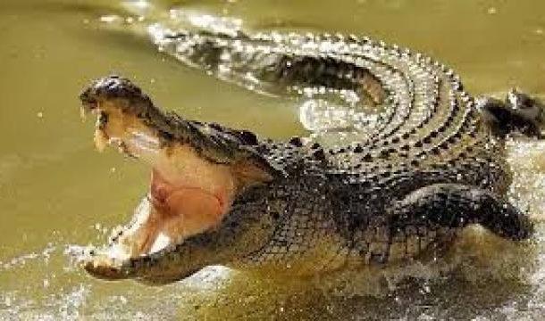 سكين في جمجمة تمساح أمريكي تثير أهالي تكساس