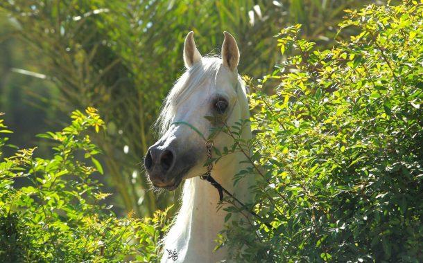 رئيس محطة الزهراء : مزاد الخيول