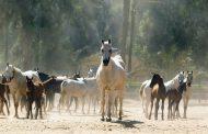مهرجان الخيول... ماهو الفرق بين الفرس والحصان والمهر والفحل والجحش؟