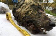 فقط في روسيا...رأس ذئب عمرها 40 ألف عام