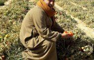 نقيب الفلاحين: كيف تحمي الحكومة مزراعي الطماطم؟