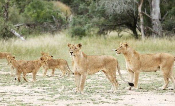 طوارئ بعد هروب 14 أسدا من حديقة حيوان...تعرف علي التفاصيل