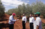 مفاجاة لوزير الزراعة في المغرب: 11 صنفا مصريا من الزيتون في مراكش (صور)