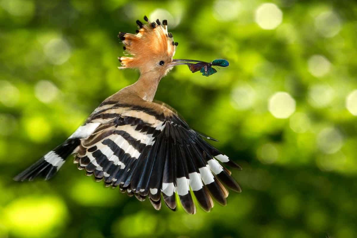 تقرير صادم علاقة ريش الهدهد بالسعادة الزوجية وكيف يتعرف الطائر المقدس علي المبيدات Agri2day اجري توداي