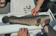 ماذا تعرف عن سمكة رأس الأفعي؟