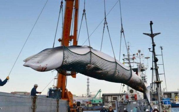اليابان تستعد لصيد الحيتان لأول مرة منذ 30 عاما